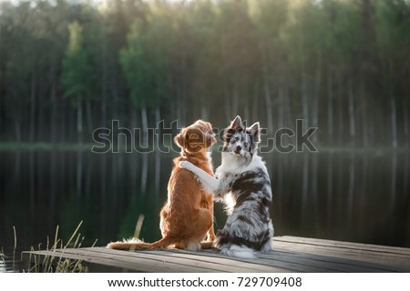 Two dogs outdoors, friendship, relationship, together. Nova Scotia Duck Tolling Retriever and a border collie Royalty-Free Stock Photo #729709408