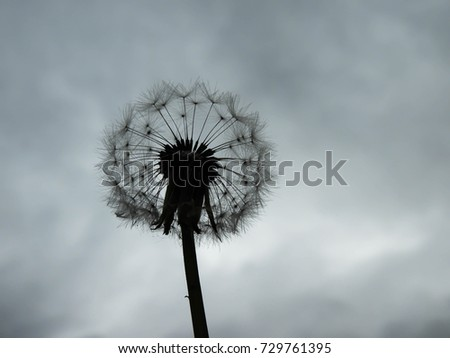Picture of a Dandelion Held Up Against a Stormy Sky Background