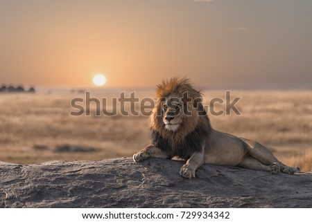 A male  lion is sitting on the rock , looking for his area  during the sunrise. Royalty-Free Stock Photo #729934342