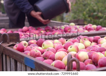 Harvesting of apples in the orchard. Containers with apples. Rustic style, selective focus. #729991660