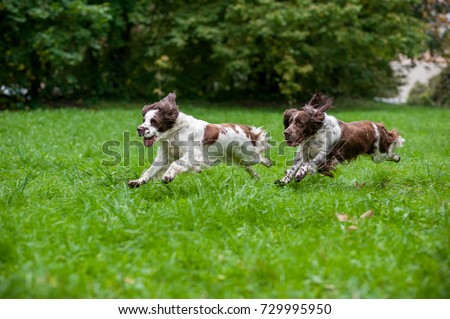 Two English Springer Spaniels Dogs Running and Playing on the grass. Playing with Tennis Ball. #729995950