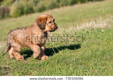 Two month´s old puppy briard (shepherd working dog) on meadow. #730106086