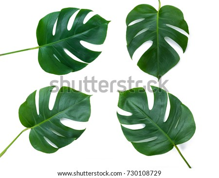 Four Tropical jungle Monstera leaves isolated on white background, swiss cheese plant. Top view with copy space. #730108729