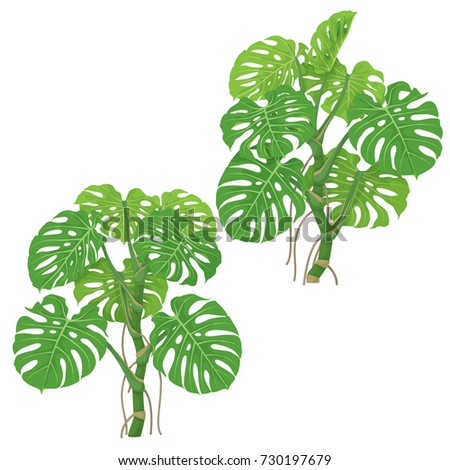 Monstera plants isolated on white background. Tropical liana with green fronds and air roots.  Vector flat illustration. #730197679