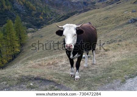 The cow on alpine pastures #730472284