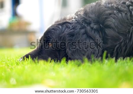 howavart dog #730563301