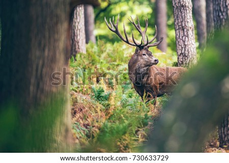 Red deer stag between ferns in autumn forest. #730633729