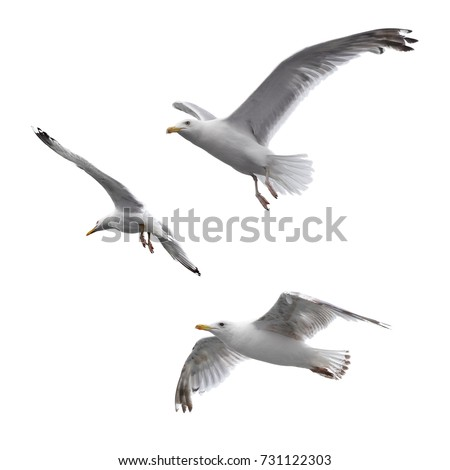 Flying sea gulls isolated on the white background Royalty-Free Stock Photo #731122303
