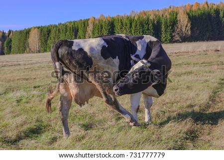 A cows grazing in a meadow in autumn against blue sky. #731777779