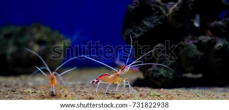 Lysmata cleaner shrimp