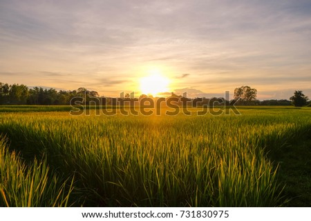 a front selective focus picture of rice field in the beautiful sunset  #731830975