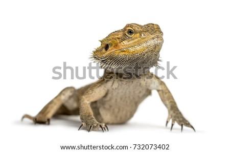 Bearded dragon, isolated on white #732073402