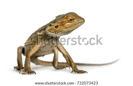 Bearded dragon standing, isolated on white #732073423