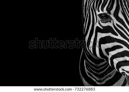 portrait of zebra. Black and white version. Royalty-Free Stock Photo #732276883