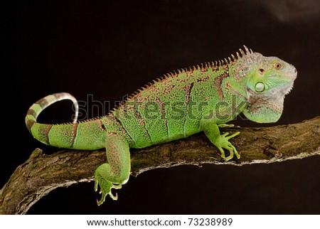 iguana closeup, on black background Royalty-Free Stock Photo #73238989