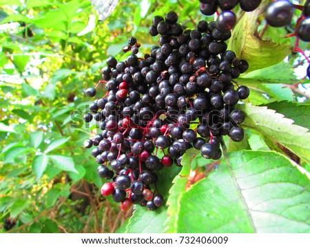 fruits of black elder, Sambucus nigra, #732406009