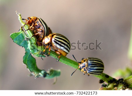 The Colorado potato beetles (Leptinotarsa decemlineata) also known as the Colorado beetle destroy potato plants and cause huge damage to farms #732422173