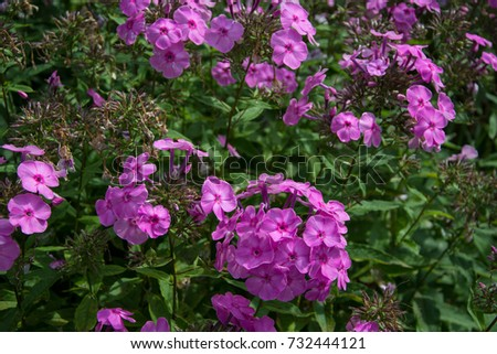 pink Phlox blossom, flower #732444121