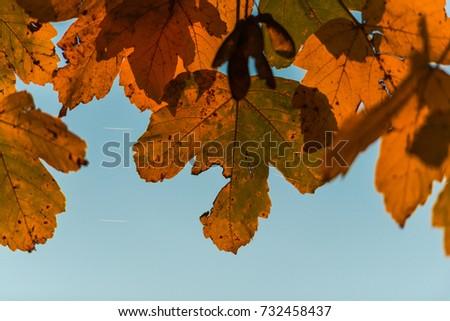 Oak leaves in the fall season #732458437