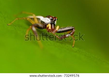Jumping Spider #73249576
