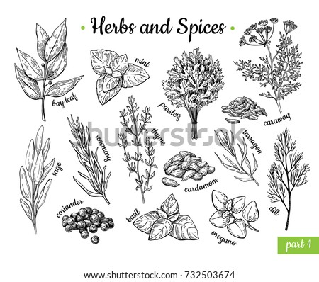 Herbs and Spices. Hand drawn illustration set. Engraved style flavor and condiment drawing. Botanical vintage food sketches. Mint, oregano, caraway, coriander, basil, dill and etc. #732503674