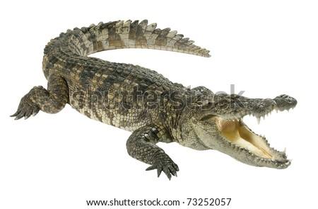 Wildlife crocodile open mouth isolated on white background Royalty-Free Stock Photo #73252057