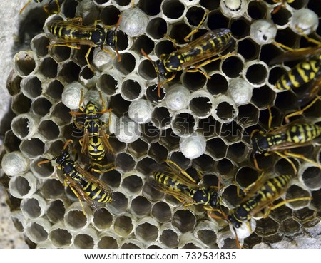 Wasp nest with wasps sitting on it. Wasps polist. The nest of a family of wasps which is taken a close-up. #732534835