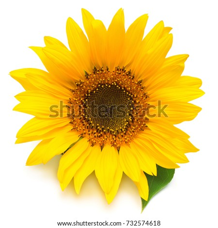 Flower of sunflower isolated on white background. Seeds and oil. Flat lay, top view #732574618