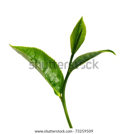 Green tea leaf isolated on white background. #73259509