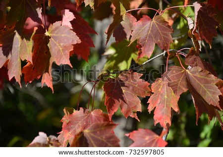 Autumn Maple Leaves #732597805