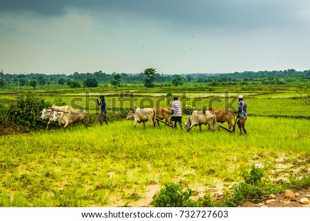 JHARKHAND, INDIA- AUGUST 15, 2017 : Unidentified farmers plows farm land by conventional method where plow is attached to bullocks in rainy weather in Jharkhand, India. #732727603