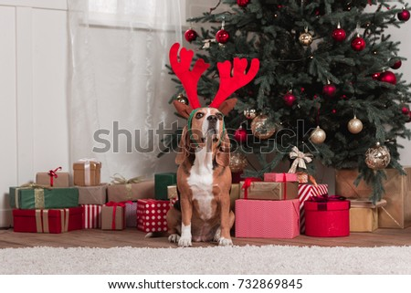 beagle with toy antlers and christmas gifts sitting next to christmas tree #732869845
