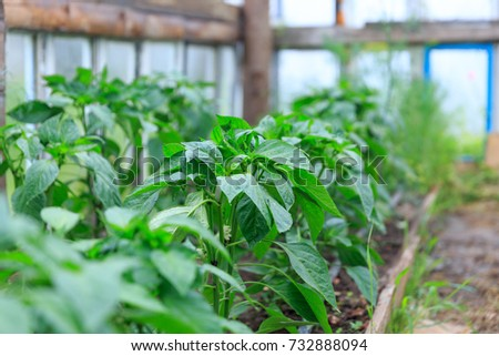 Organical big green potato bush with flowers on a garden bed growing in a private garden in spring and summer for vegetarian #732888094