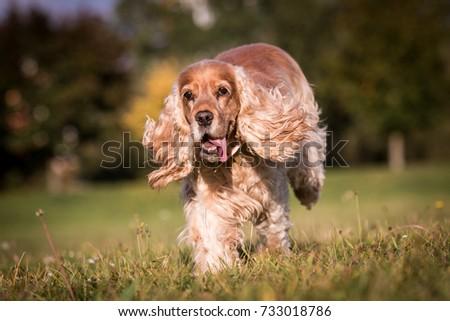 Running English cocker spaniel  #733018786