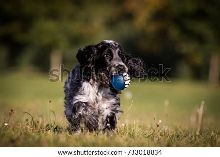 Running English cocker spaniel  #733018834