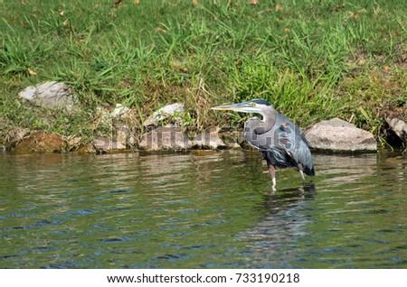 Great Blue Heron looking across lake #733190218