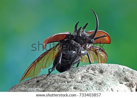 Beetles / Insect : the Five-horned rhinoceros beetle, Eupatorus gracilicornis , they are also known as Hercules beetles, Unicorn beetles, or Horn beetles , flying in nature  #733403857