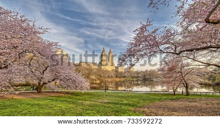 Central Park, New York City in early spring with cherry trees in bloom #733592272