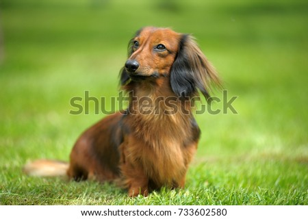 Dachshund on a background of green grass #733602580
