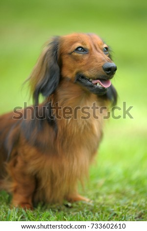 Dachshund on a background of green grass #733602610