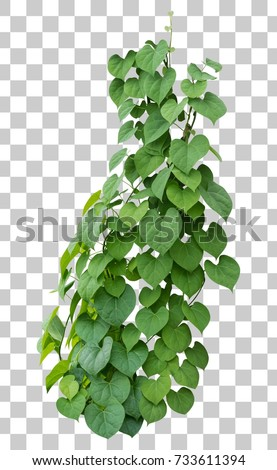 Vine plant growing green leaves, ivy plant isolated green tropical hang creeper climbing on transparent layer have clipping path