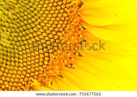 A view close up of bright colors, beautiful sunflowers. Sunflower texture and background. Texture of sunflower pollen. Macro view of abstract nature texture and Organic pattern. Sunflower in bloom. #733677562