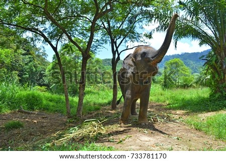 asian, indian, large elephant  greet raised trunk, trumpet up in jungle, park,  forest. standing mammal animal near feed, leaves, sugar cane in national safari, nature reserve, farm. thailand wildlife