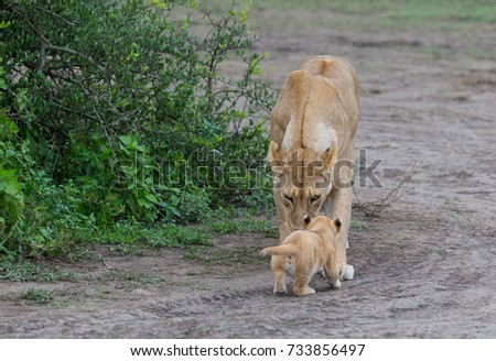 This is a picture lioness and her cub.