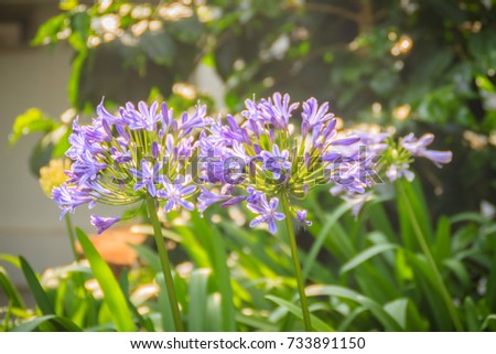 Beautiful purple Agapanthus africanus flower (African lily or lily of the Nile), a flowering plant from the genus Agapanthus native to the area of Cape of Good Hope in South Africa. #733891150