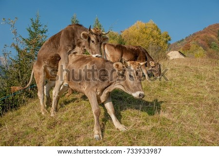 fertilization of alfalfa pasture cows #733933987