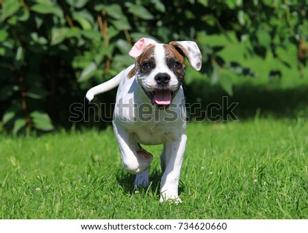 White American Bulldog puppy (four months old) running  in the yard of the house