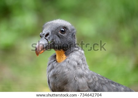 Young King vulture