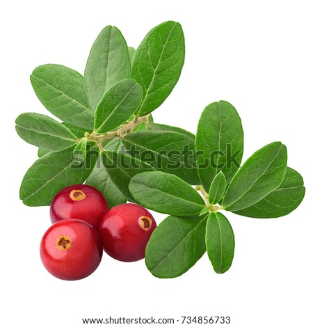 leaves cranberries, vaccinium vitis-idaea, clipping path, isolated on white background, full depth of field, high quality #734856733
