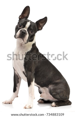 Studio shot of an adorable Boston Terrier sitting on white background.